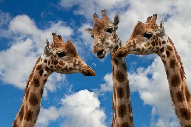 giraffes-627031_1280
