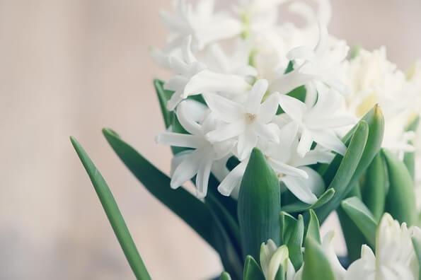 hyacinth-1264658_6401