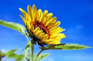 sun-flower-1536088_1920